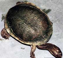 Cann's Snake-necked Turtle