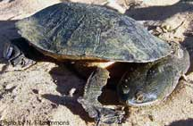 The Sandstone Snake-necked Turtle