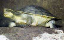 Northern Yellow-faced Turtle