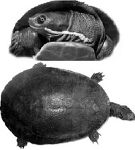 Short necked turtles